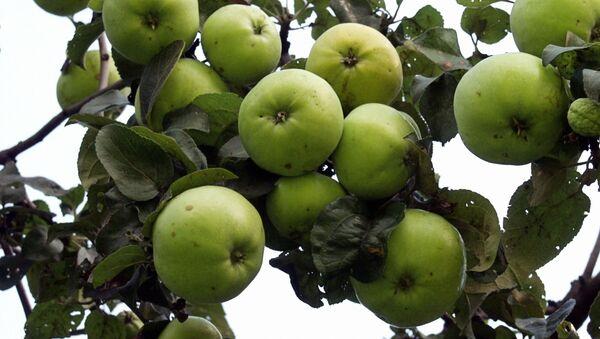 Federalna Służba Nadzoru Weterynaryjnego i Fitosanitarnego przeszkodziła w eksporcie do Rosji 800 ton polskich jabłek i gruszek z Białorusi bez wymaganych dokumentów - Sputnik Polska