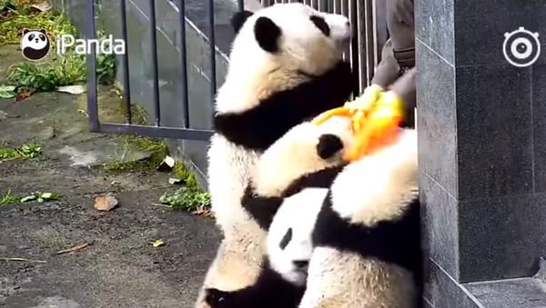 Coś niebywałego! Pandy uciekają z zoo - Sputnik Polska