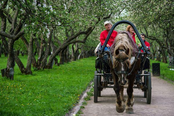 Jabłonie, kwitnące jabłonie! - Sputnik Polska