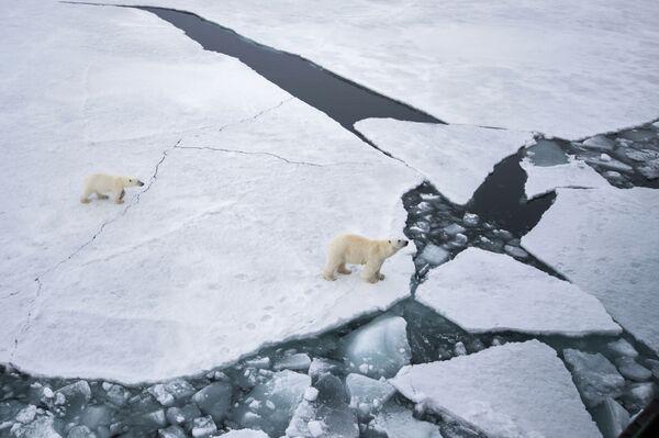 Biała niedźwiedzica z niedźwiadkiem w rejonie archipelagu Ziemia Franciszka Józefa w północno-zachodniej części Morza Barentsa. - Sputnik Polska
