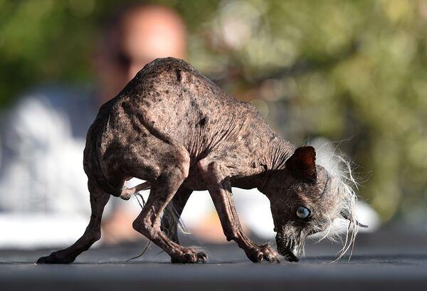Pies Sweepee Rambo na konkursie Najbrzydszy pies na świecie - Sputnik Polska