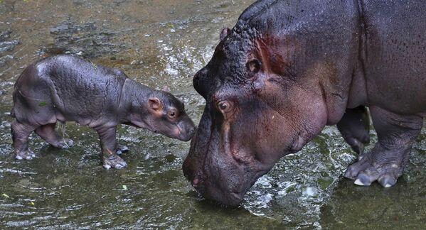 Hipopotamy w parku narodowym, Indie - Sputnik Polska