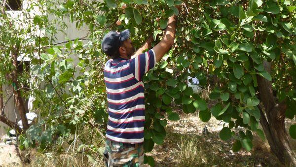 Syryjczyk Muhannad Maalan zbiera owoce śliwy asyryjskiej w swoim ogrodzie w Latakii - Sputnik Polska