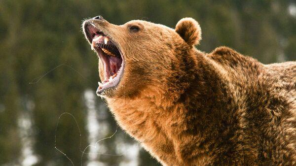 Ryczący niedźwiedź - Sputnik Polska