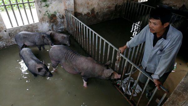 Rolnik sprawdza stan świń po sztormie tropikalnym w Hanoi, Wietnam - Sputnik Polska