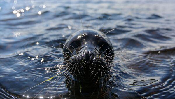 Nerpa w jeziorze Bajkał - Sputnik Polska