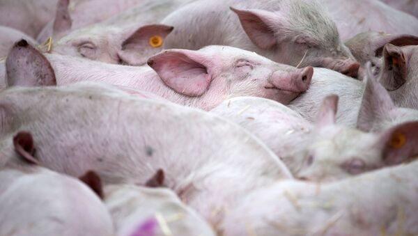 Śpiące świnie w czasie demontracji rolników przed siedzibą UE w Brukseli - Sputnik Polska
