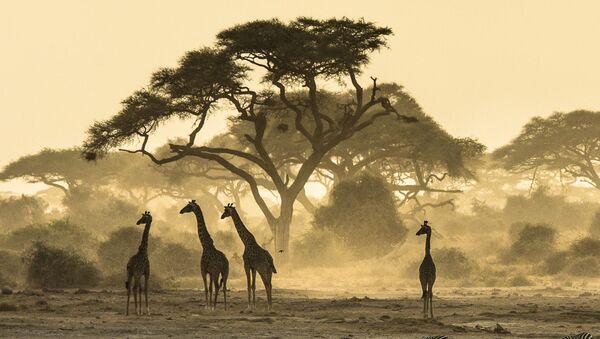 Зебры и жирафы в Кении - Sputnik Polska