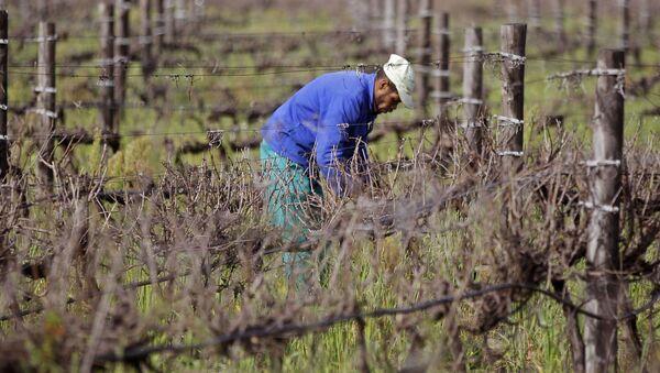 Rolnicy zbierają winogrona, RPA - Sputnik Polska