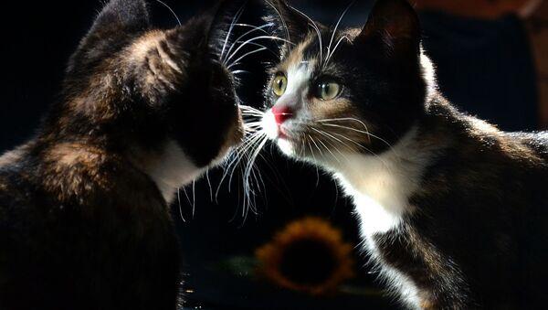 Kiedy kot widzi swoje odbicie w lustrze... - Sputnik Polska