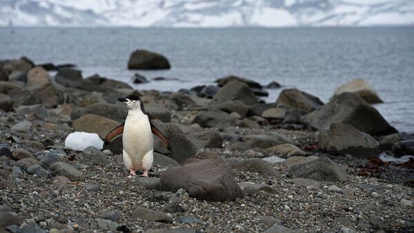 Pingwin na Antarktydzie - Sputnik Polska