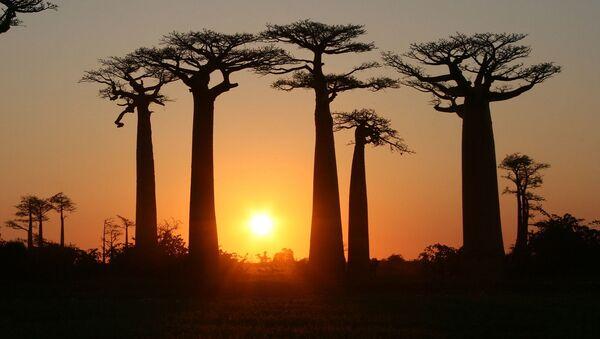 Aleja baobabów na Madagaskarze - Sputnik Polska
