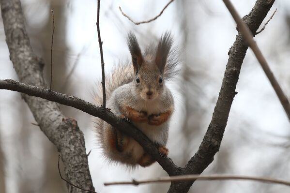 Wiewiórki czują się najbardziej komfortowo na dużej wysokości - Sputnik Polska
