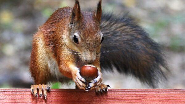 Wiewiórki uwielbiają orzechy laskowe - Sputnik Polska