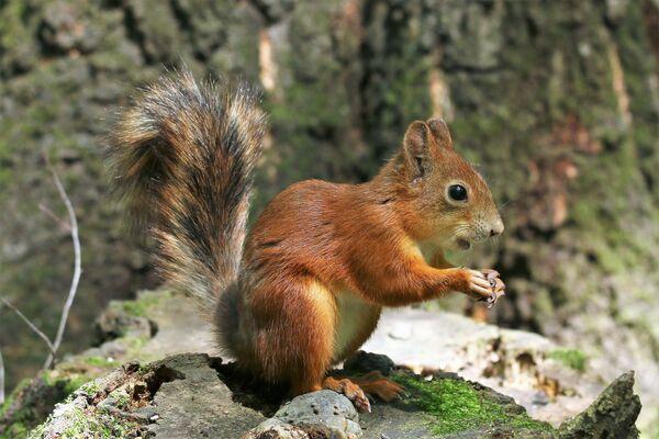 Moskiewska wiewiórka w letniej odsłonie - Sputnik Polska
