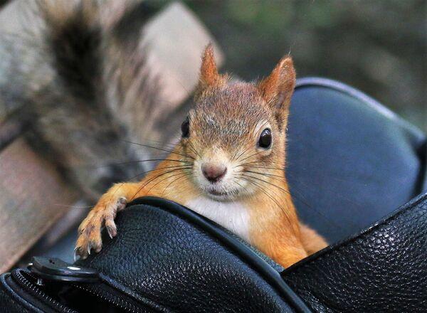Pilnujcie swoich torebek Drogie Panie! Wiewiórka grasuje - Sputnik Polska