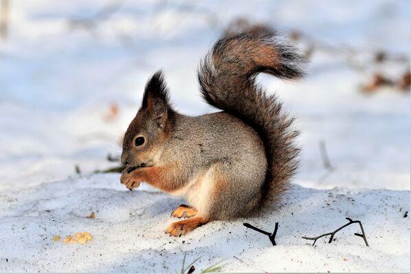 Śnieg zaczyna się topić i ze swoich norek zaczynają wychodzić wiewiórki - Sputnik Polska