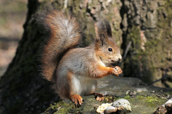 Wiewiórka w wiosennej odsłonie, ale futerko jeszcze zimowe - Sputnik Polska