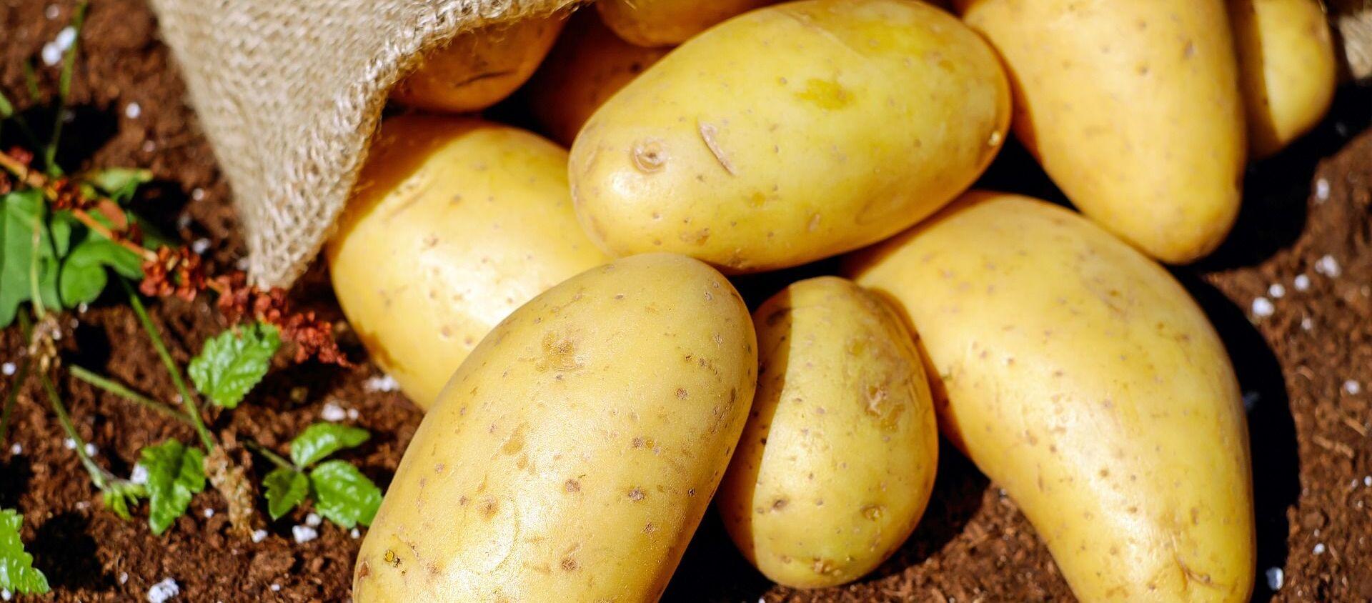Bulwy ziemniaka - Sputnik Polska, 1920, 05.01.2021