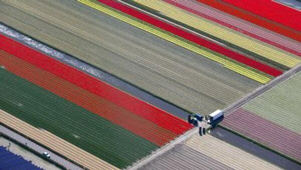 Pola kwiatowe w Holandii - Sputnik Polska