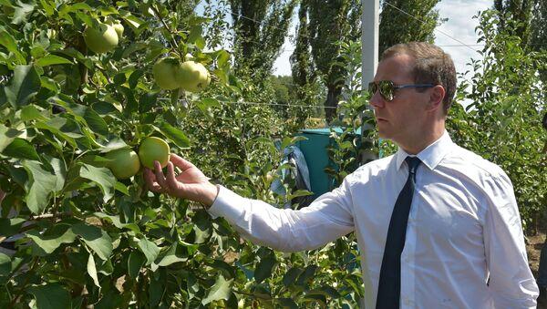 Szef rządu FR Dmitrij Miedwiediew w jabłoniowym ogrodzie - Sputnik Polska