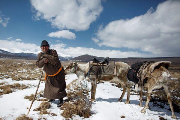 Łowca reniferów Erdenbat Chuluu ze swoimi zwierzętami w drodze do sąsiedniej wsi Cagaannuur, Huvsgel, Mongolia - Sputnik Polska