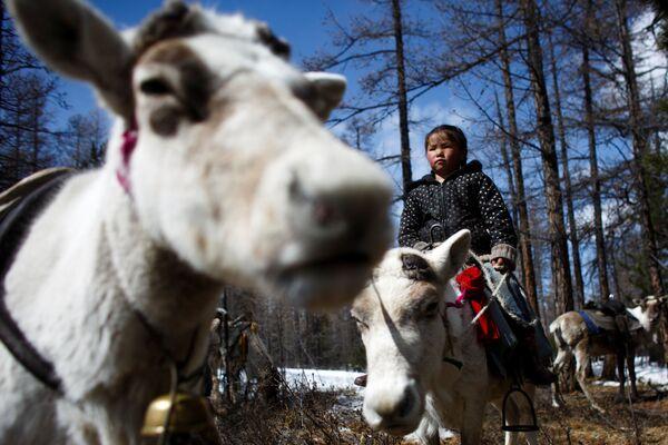 6-letnia mongolska dziewczynka obserwuje renifery - Sputnik Polska
