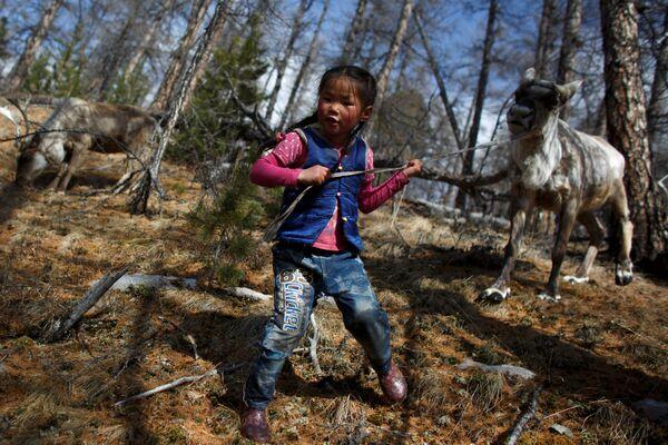 6-letnia mongolska dziewczynka prowadzi renifera na smyczy - Sputnik Polska