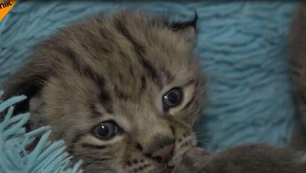 Kotka Monika z nadmorskiego zoo zastąpiła matkę rysiątku - Sputnik Polska