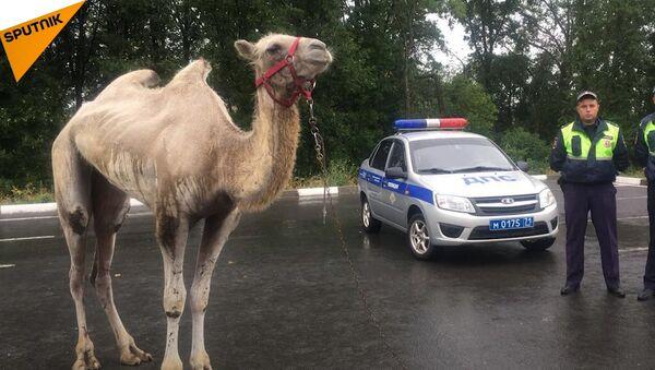 Wielbłąd na szosie - Sputnik Polska