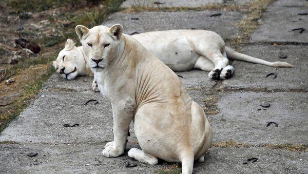 Białe lwy w krymskim parku safari Tajgan - Sputnik Polska