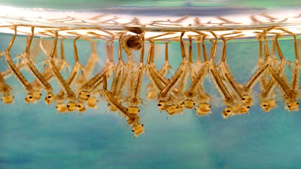 Larwy komara transmitującego gorączkę Zachodniego Nilu - Sputnik Polska
