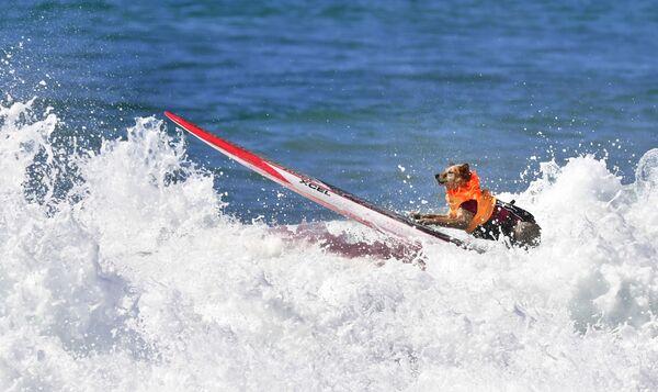 Surfingowe psie zawody w Kalifornii - Sputnik Polska