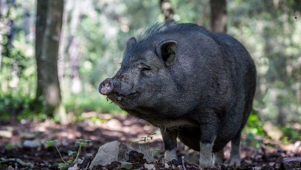 Wietnamska świnia zwisłobrzucha - Sputnik Polska