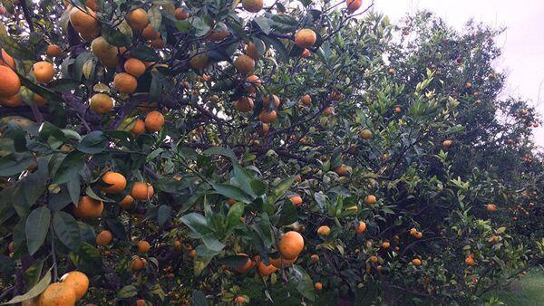 Ogród mandarynkowy w Latakii - Sputnik Polska