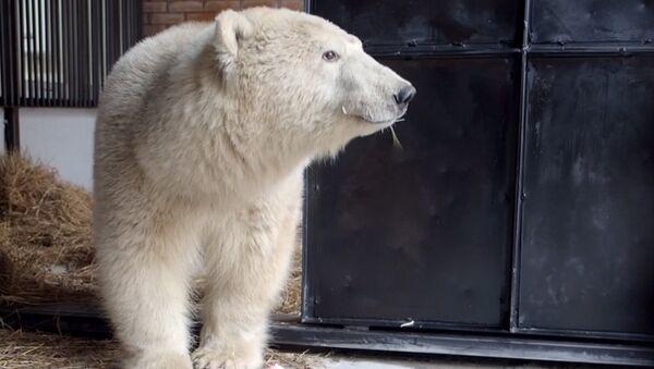 Biały niedźwiedź - Sputnik Polska