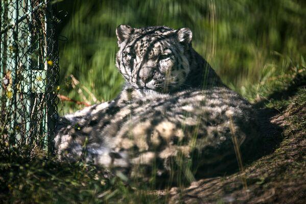 Pantera śnieżna w kirgiskim centrum rehabilitacji dla dzikich zwierząt - Sputnik Polska