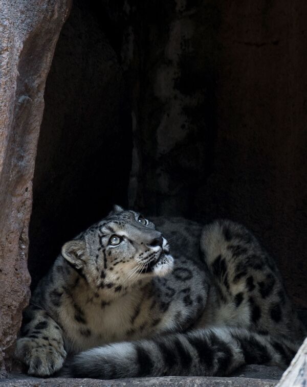 Pantera śnieżna w ogrodzie zoologicznym w Meksyku - Sputnik Polska