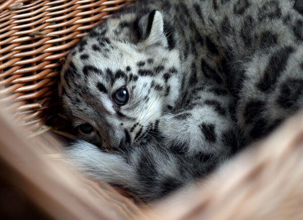 Pantera śnieżna w ogrodzie zoologicznym w Niemczech - Sputnik Polska