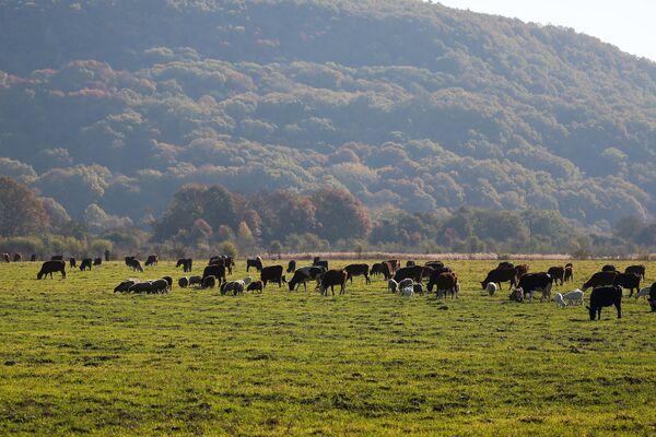 Krowy na patwisku w Republice Adygei - Sputnik Polska