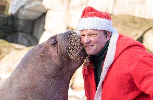 Treser przebrany w strój Świętego Mikołaja z morsem w Hamburgu - Sputnik Polska