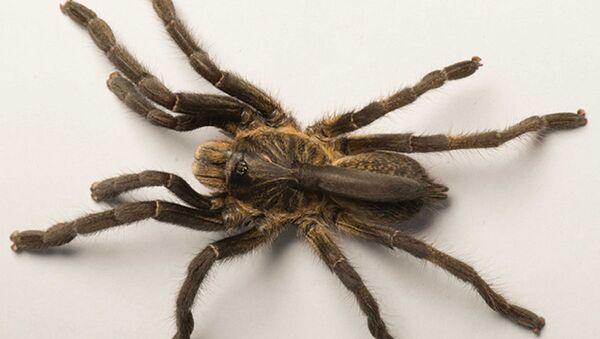 Nowy gatunek tarantuli John Ceratogyrus attonitifer z rogiem na plecach - Sputnik Polska