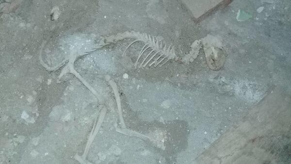 Szkielet dinozaura znaleziony w czasie remontu w jednej z uzbeckich wsi - Sputnik Polska